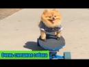 Русское видео собака на скейте в Парке. Маленька собачка в одежде. Смешной щенок Девушки. Мини собакен