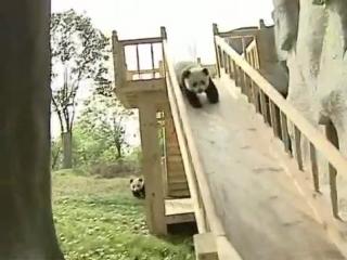 Панды катаются с горки