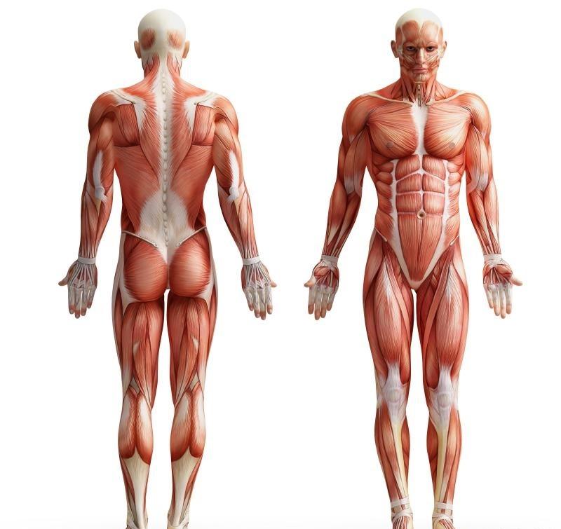 Человеческая мышечная система.