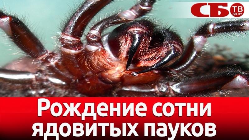 Рождение сотни самых ядовитых пауков – жуткое видео