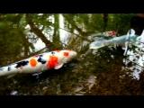 Beautiful_Koi_Fish_Pond