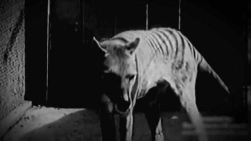 Последняя съёмка сумчатого волка (тилацина)
