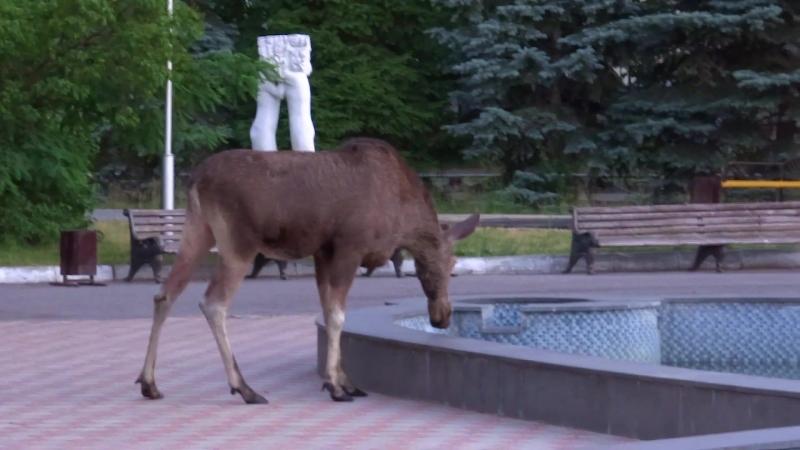 Лось в г.Заречный - на фонтане Плазма(3 июля 2018)