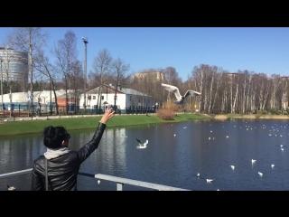 Дрессировка чайки