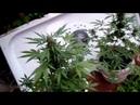 Выращивание Марихуаны 9 Auto White Widow Errors seeds VS Green House Seeds
