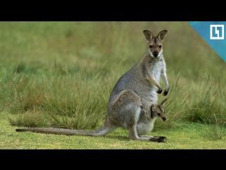 Кенгуру - лучшие мамы среди животных
