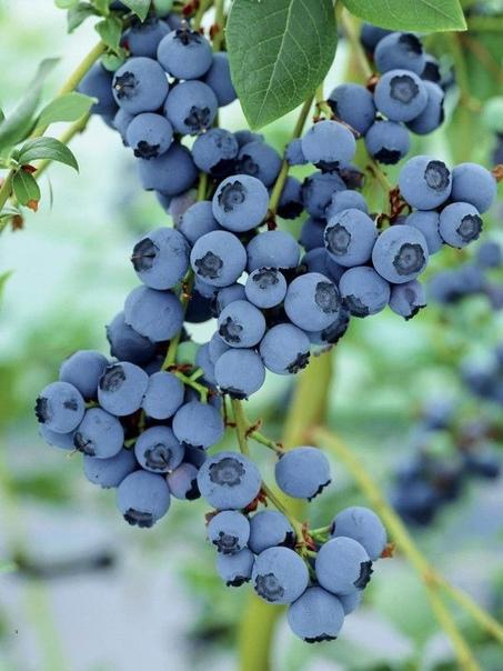 голубика садовая голубика – очень полезная, вкусна и красивая ягода. она полюбилась садоводам, и они стали выращивать ее на своих участках. голубика не относится к тем из растений, о которых