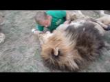 Ничего необычного, просто львы-друзья