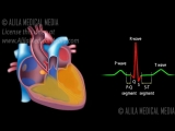 cardiac conduction system ECG animation.