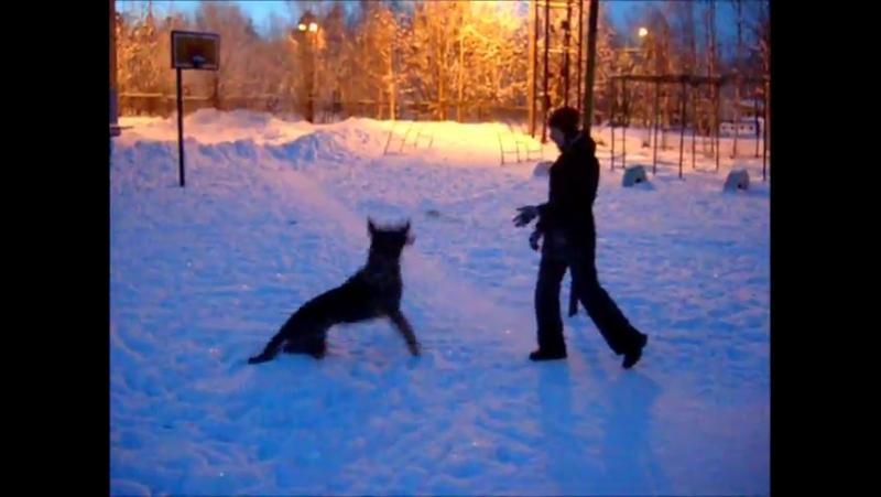 Собаку зовут Гризли, немецкая овчарка, 8 лет. -автор Елена Жабыко