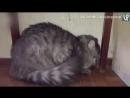 Ругает кошку за то, что та ходит по ноутбуку