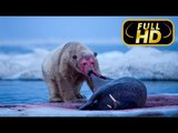 SUPER KILLER. POLAR BEAR FULL HD - Documentary Films 2018 on Amazing Animals TV