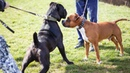 Cane Corso vs Amstaff - Ultimate Clash