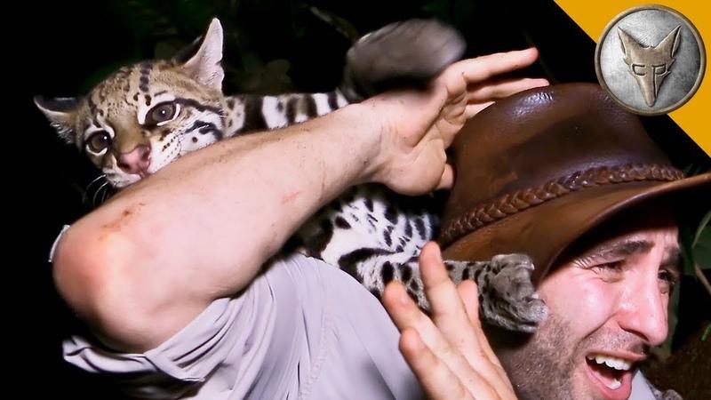 АТАКА ОЦЕЛОТА?! Дикий хищник играет с человеком.Brave Wilderness на русском
