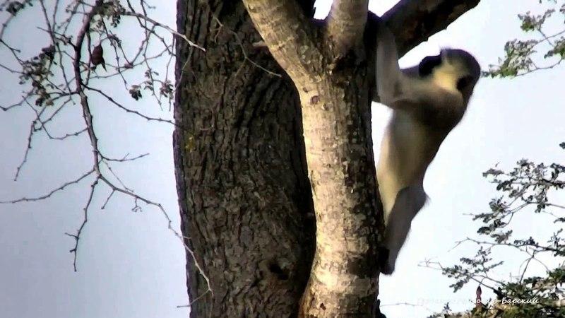 Верветка или карликовая зеленая мартышка ест с удовольствием как мы в детстве сладкую камедь смолу из под коры деревьев в охотничьем заказнике Джума Южная Африка 24 05 2018