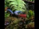 Красная пиявка гонится за дождевым червем.