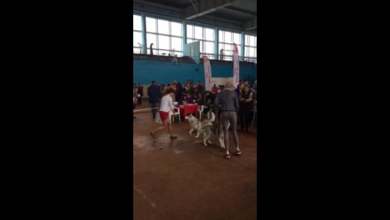 Джерси ( Esmeralda Nait) - закрыла Юного Гранд Чемпиона Беларуси 😊💖