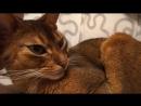 10 Самых умных пород кошек - Мы ждем ваши удивительные истории связанные с вашей кошкой