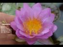 Nymphaea Siam Purple Кувшинка Сиам Пурпл