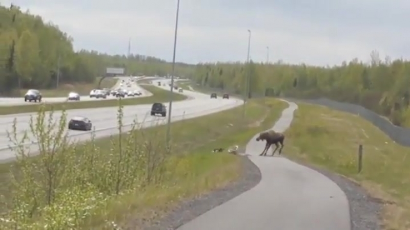 Moose shows who's boss