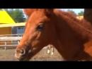 Тракененская порода лошадей - КОННЫЙ МИР