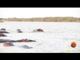 Акула нападала на стадо бегемотов