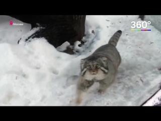 Котёнок Манула первый раз видит снег ...