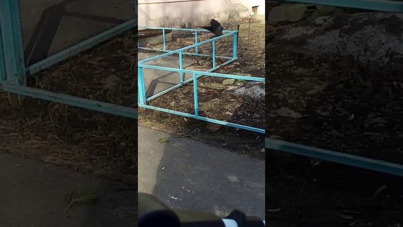 Ворона-воришка в Воронеже