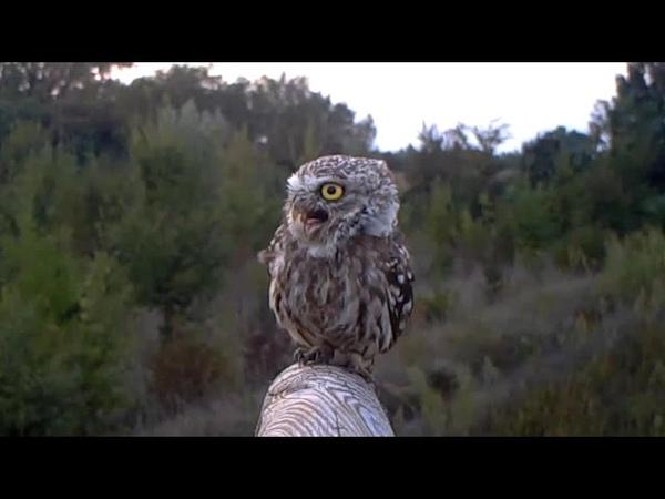 Verso della Civetta little owl Athene noctua 133 fototrappolaggio a Corte Franca