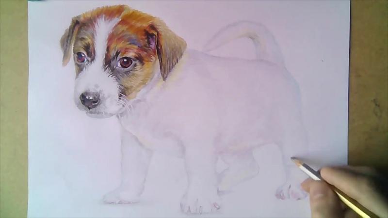 7 Как нарисовать щенка джек рассел терьера