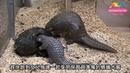 Панголин или ящер Pholidota 品嚐現流蟻窩自己來-穿山甲芎梧依靠嗅覺 Baby Pangolin Chiung Wu Tasted Fresh Ant Nest