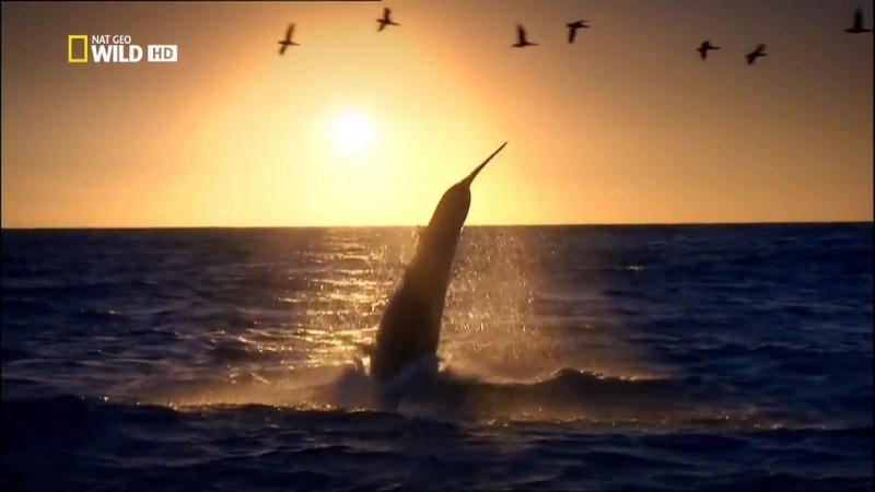 Анатомия крупнейших животных-Большая Белая Акула