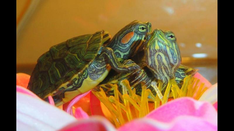 ТВ передача Домашний Очаг - Красноухая черепаха
