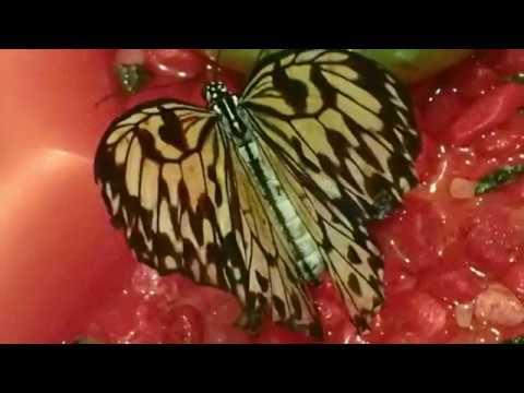 Живые Тропические Бабочки Выставка тропических бабочек в Кирове