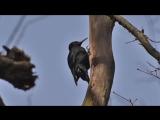 Чёрный дятел -