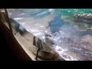 Территориальное поведение детеныша гребнистого крокодила