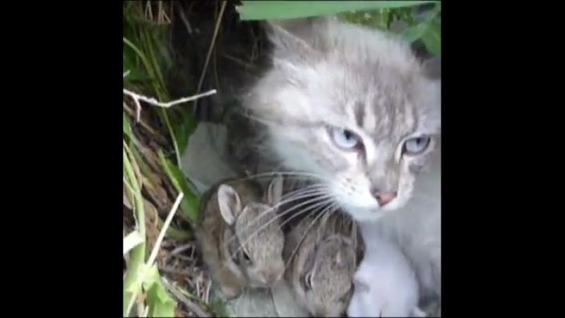 Mother cat takes care of her kittens cats as well as baby rabbits! Credit Americas Funniest Home Videos