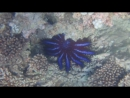 Ядовитая морская звезда - синяя корона и голотурия, или морской огурец