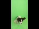 Юкон ловит мячик!