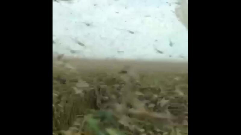 Нашествие саранчи в Астраханской области май 2018