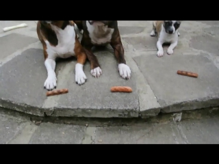 The Sausage Thief ! _ The Greedy Chihuahua _ #Funny
