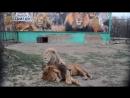 БЛАГОРОДНЫЙ лев ДЕЙЛ ! Истории наших питомцев .Тайган .Крым