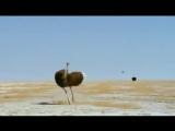 Африканские Страусы. Детям о животных