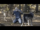 Реслинг с волками