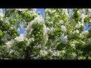 Соловей на цветущей яблоне Пение соловья в яблоневом саду