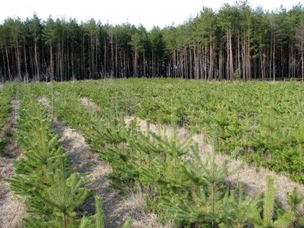 В Курской области восстановят 440 гектаров лесов
