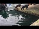 Выдра играет с Лабрадорами