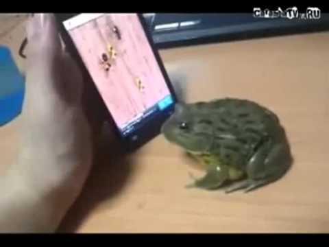 Лягушка ловит виртуальных насекомых. Лягушачьи игры.