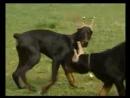 Собаки от А до Я - Доберман