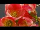 Цветы распускаются и Lionel Richie - Lady